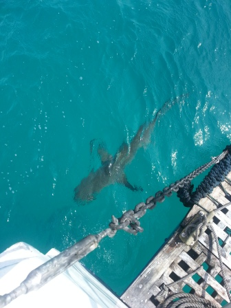 Sharks swimming round our boat