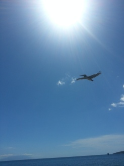 A low flying pelican