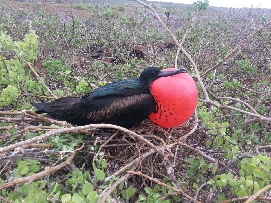 The male frigate bird inflates his red pouch to the size of a basketball to attract a mating partner